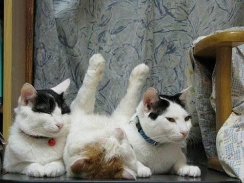 poza-pisici-haioase
